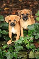 Click image for larger version.  Name:pugs.jpg Views:167 Size:92.5 KB ID:3859