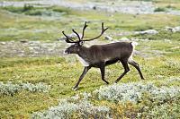 Click image for larger version.  Name:20070818-0001-strolling_reindeer.jpg Views:50 Size:99.3 KB ID:18664